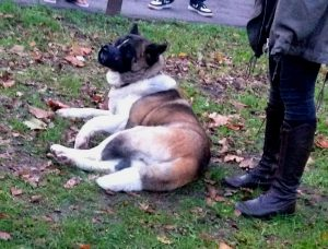Pusat, the injured dog, lies on the ground.