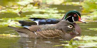 A pair of ducks swimming.