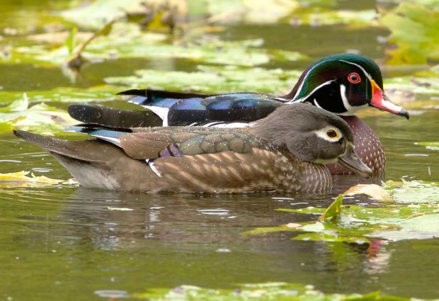 VIDEO: Will fat Hackney ducks eat anything else but white bread?