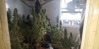 marijuana cannabis weed